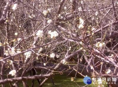 桃園角板山行館3百多株梅花綻放約4成 預估下週後滿開