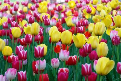 【賞花最前線】鬱金香X向日葵金黃盛典 全球特搜四大經典花海