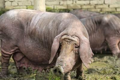 泥漿中滾出來的美味黑豬肉