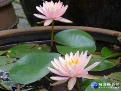 蓮 荷傻傻分不清? 花卉試驗中心水生植物展教您識別
