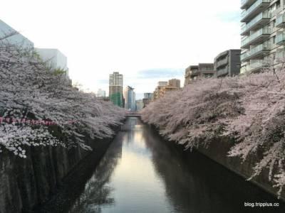 東京威斯汀酒店。打開窗就能看到櫻吹雪的美景,畫面太美我不敢看…