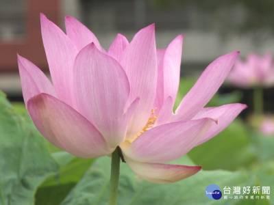 大賀蓮花期到 粉藕色花朵清新高雅