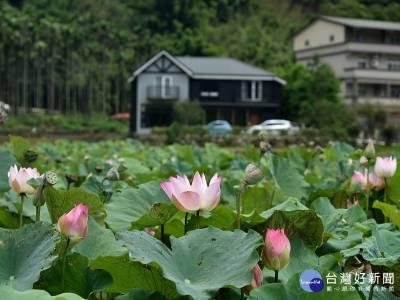 雙溪荷花季 賞花吃有機農產品