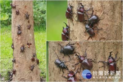 復育有成 深溝水源生態園區甲蟲多