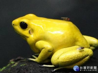 金色箭毒蛙繁殖有成 首隻小蛙變態完成上岸