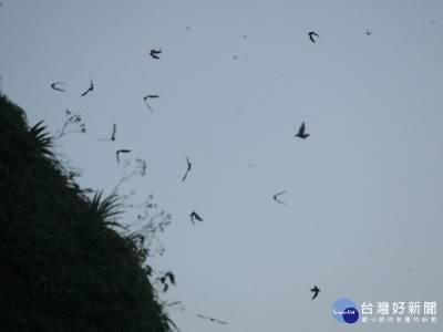 瑞芳大量蝙蝠出洞覓食 遊客驚喜連連
