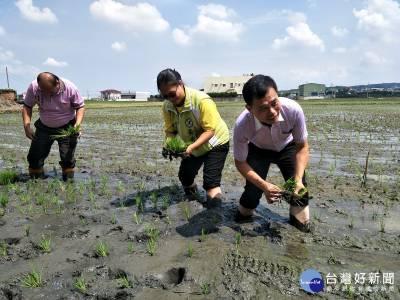 花壇彩繪稻田完成定位插秧 金雞鯉魚圖騰40天後浮上來