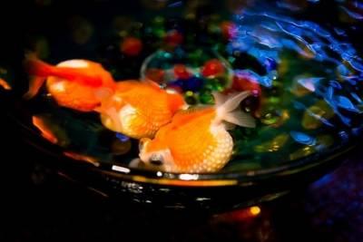清涼消暑的視覺療癒!夏天到東京必看,2017年日本橋【金魚展】開催。