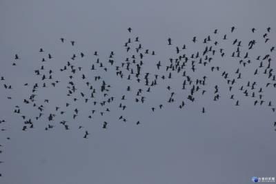 全台唯一特殊生態奇景 「萬鷺朝鳳」數大是美
