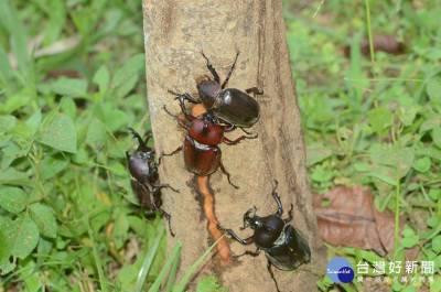 東勢林場熱鬧一夏 甲蟲生態豐富多元